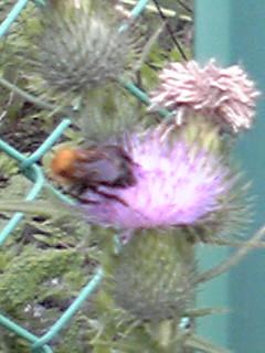 アザミ(薊)の花は綺麗♪でもその葉には鋭いトゲが…