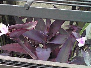 ムラサキゴテン(紫御殿)の小さな花が今年も可愛い姿で♪