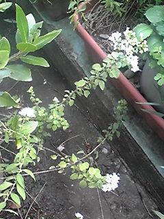 今朝は花も楽しんでいるハーブ(バジル、オレガノ)