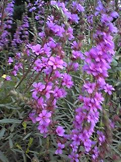 今夜は皆様のあつい熱を冷ます為に涼しげな色のお花を!