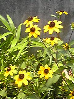 今宵のブルームーン♪そしてお花はルドベキア(グロリオサデージー、アラゲハンゴンソウ)です!
