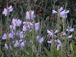 ハナトラノオ(花虎の尾、カクトラノオ)の涼しげな薄紫♪