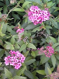 シモツケ(下野)がずっと咲き続けています☆