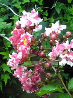 雨の朝に我が家のあの、蘖(ひこばえ)サルスベリが咲き始めました!