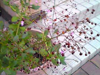 ハゼランの小さな花を今年も!