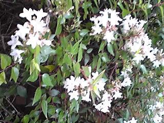 直さん(高橋直純)が「スカーレットライダーゼクス」イベントに出演します!&お花はアベリア