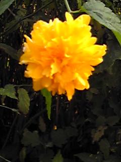 ん?季節外れのヤマブキ(山吹)が咲いています。