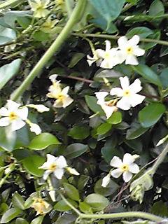 一旦終わったテイカカズラ(定家葛)がまた、咲き始めました!よい香りです♪