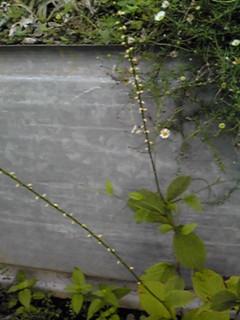 ギンミズヒキ(銀水引)は白花のミズヒキ