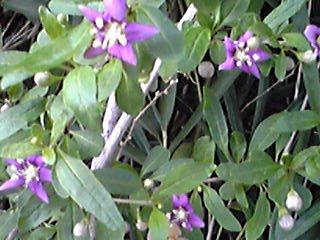 小さな、あのクコ(枸杞)の花が咲き始めています!