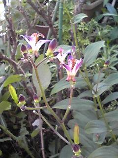 ホトトギス(杜鵑、杜鵑草、油点草)が楚々と咲き乱れ…!
