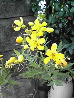 アンデスの乙女(ハナセンナ、カッシア・コリンボサ)の黄色い花に何故か心引かれます!