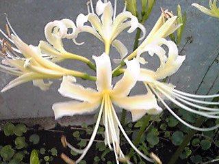 白いヒガンバナ(白花曼珠沙華、彼岸花、曼珠沙華)