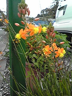 ブルビネ・フルテッセン(花アロエ)がまた、咲き始めていました!