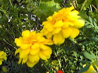 マリーゴールドがとても綺麗に咲いています☆