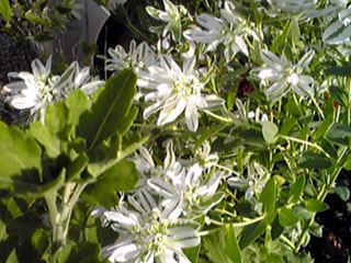 ハツユキソウの白い姿はその葉の白さ