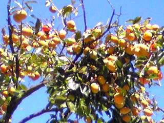 青空に鈴なりの柿の実…秋ですね〜♪
