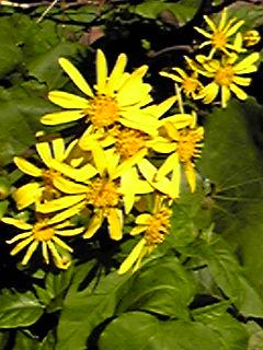 ツワブキ(石蕗、ツワ、ツヤブキ)の花が咲く時期に成りましたね!