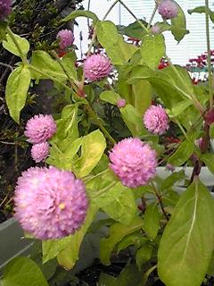 センニチコウ(千日紅、センニチソウ)の花色もいろいろ