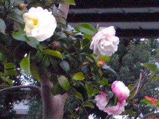 サザンカ(山茶花)が咲き始めました!