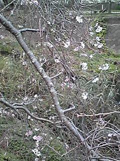 十月桜ひたたび♪