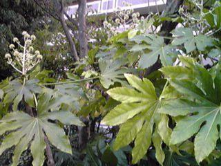 ヤツデ(八つ手、天狗の葉団扇)の花芽が沢山上がっていました!