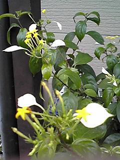 コンロンカ(ハンカチの花)の小さな黄色い星の花がまだ咲いています☆