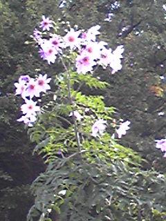 青空に見上げる皇帝ダリア(木立ダリア)の花