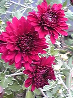 菊(キク)の花が満開です!
