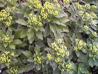 イソギク(磯菊)が咲き始めました。