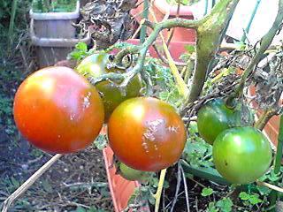 わが家のミニ菜園でまだ、頑張っているあのミニトマトが明るんでいます♪