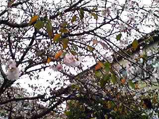 冬桜(フユザクラ)が満開に成っていました!