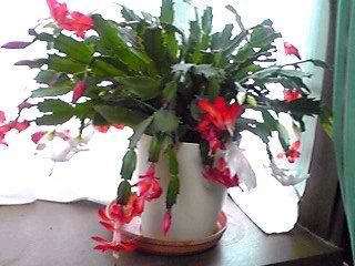 シャコバサボテン(デンマークカクタス、クリスマスカクタス、カニシャボ)が咲き始めました♪