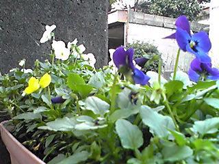 小さな苗からやっと花を咲かせてくれ始めました♪(ビオラ)