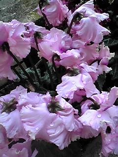ダブル咲きのガーデンシクラメンの名は「PIPOCA」