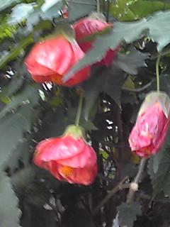 アプチロンの花がまだ元気に咲いていました♪