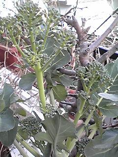 我が家のブロッコリー二つ目も収穫しなくっちゃね!