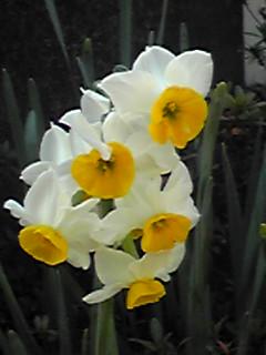 スイセン(水仙、雪中花)の清楚な姿が沢山咲き始めています♪