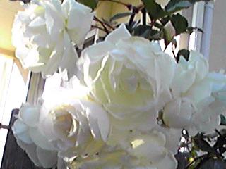 散歩で見掛けた真っ白なバラ(薔薇)