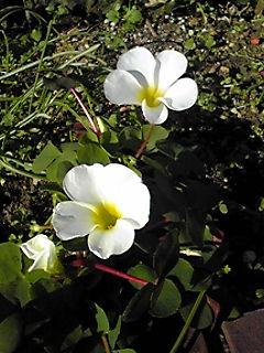 こちらも真っ白なオキザリスの花