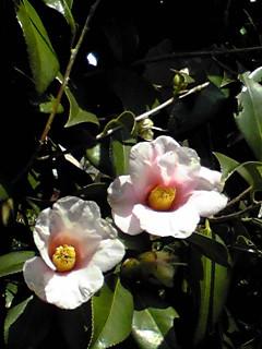 冬の花…ツバキ(椿)その1