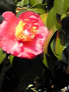 冬の花…ツバキ(椿)その2