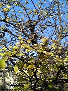 ロウバイ(臘梅、蝋梅)ね花が咲き始めていました!