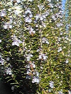 ローズマリーはこの冬も元気に咲いています!おまけでシラサギ(白鷺)さんも!