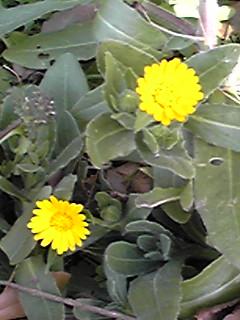 冬知らず(カレンデュラ)はまだ咲いたばかり