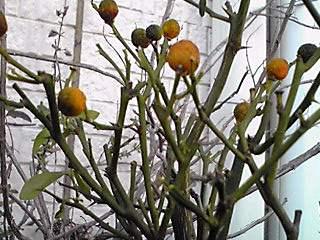 ミカン類の黄色も鮮やかな冬のお庭