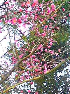 紅梅(こうばい)が咲き始めていました!
