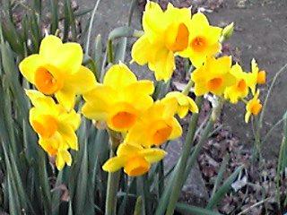 黄水仙(キズイセン)の黄色もとても鮮やかですね〜♪