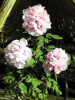 鎌倉、鶴岡八幡宮「神あんぼたん庭園」の寒ぼたん(冬ぼたん)の花たち