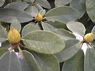 シャクナゲ(石南花)の花芽
